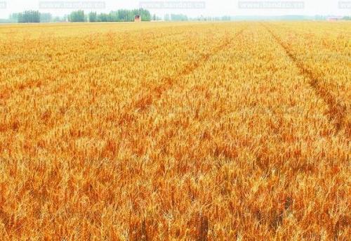 埃及计划本季收获360万吨小麦