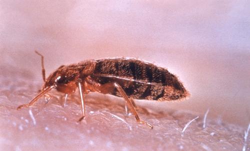 研究人员确定了侵入性臭虫的生物控制的理想区域和时间