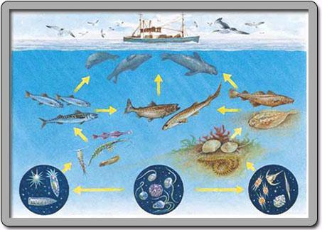 瘦鳕鱼和灰色印章揭示了波罗的海食物网的令人不安的变化