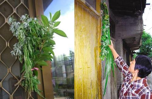 艾草因其独特的气味可以驱虫悬挂艾草成了端午的一项习俗